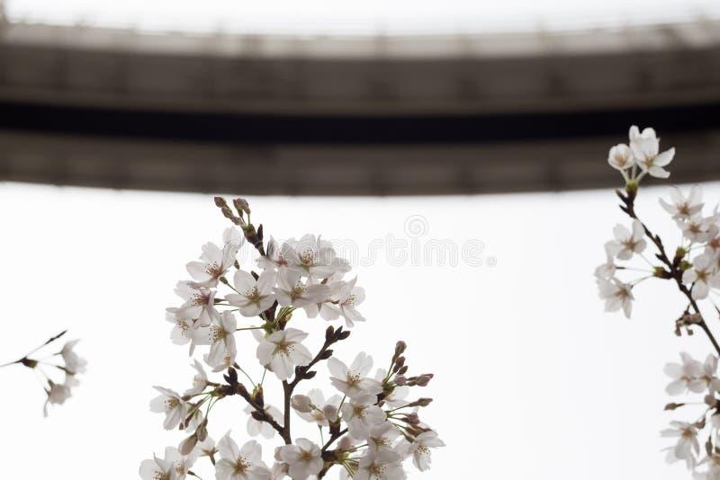 k?rsb?rsr?da blomningar i chiba arkivbilder