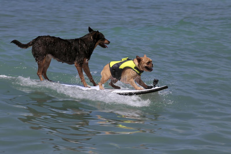 K9 surfing obrazy stock