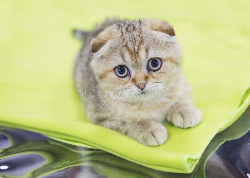 K?tzchen auf einem wei?en Hintergrund Sahnefarbe - getigerte Katze stockfoto