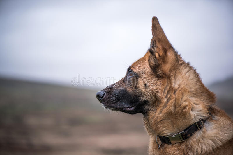K9 working security dog portrait. With copy space stock photos
