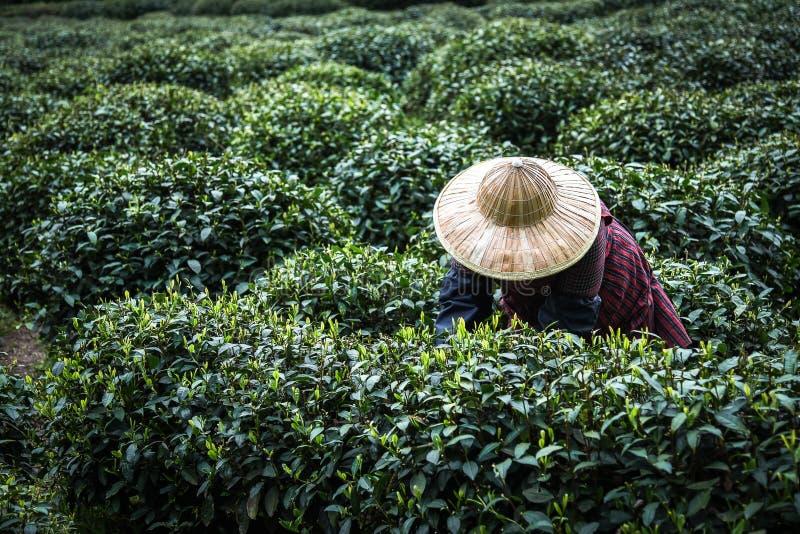 Każdy rok W wiośnie Żeńskiej używają ręka palca wyboru zielonej herbaty liście przy herbacianą plantacją dla najlepszy produktu i zdjęcie stock