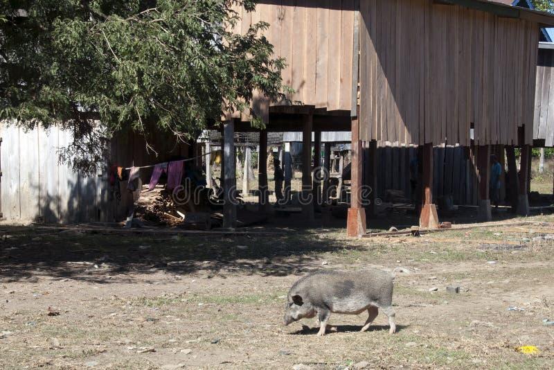 Ka Chuan Village, casa tradicional do tribo de Tompoun com o porco no primeiro plano fotos de stock