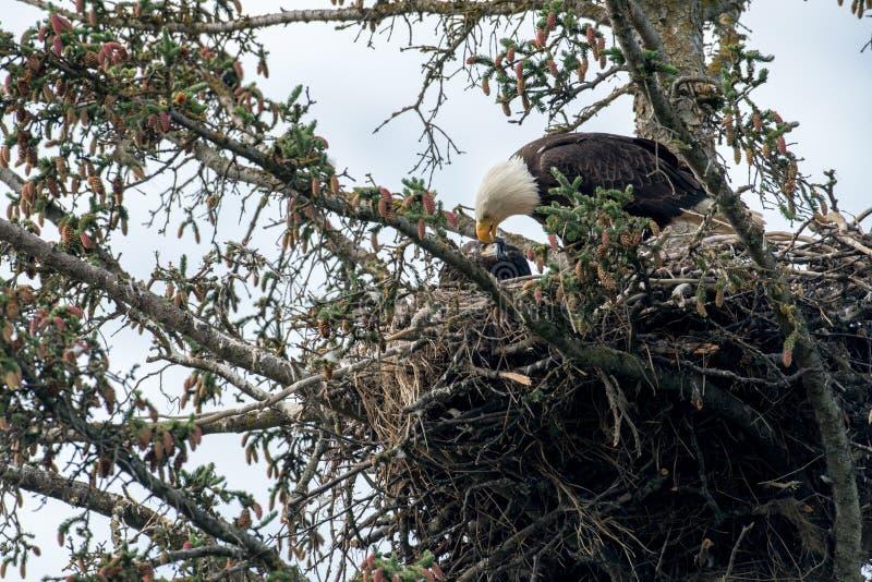 Kaal adelaarsnest in Alaska royalty-vrije stock foto