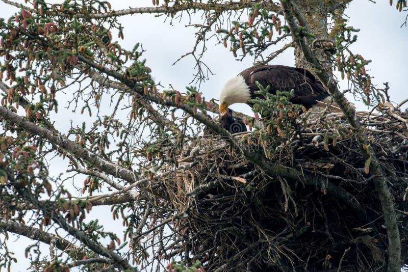 Kaal adelaarsnest in Alaska royalty-vrije stock foto's