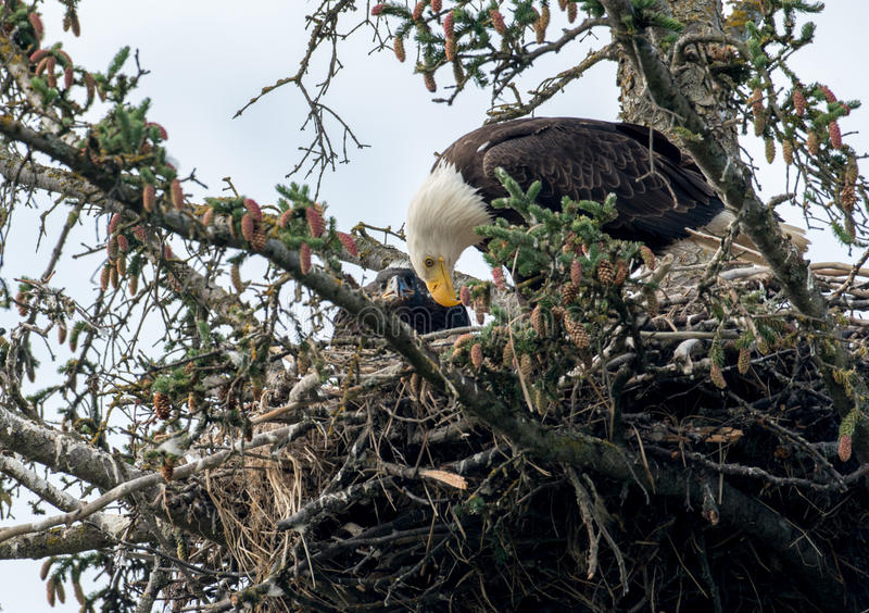 Kaal adelaarsnest in Alaska stock afbeelding