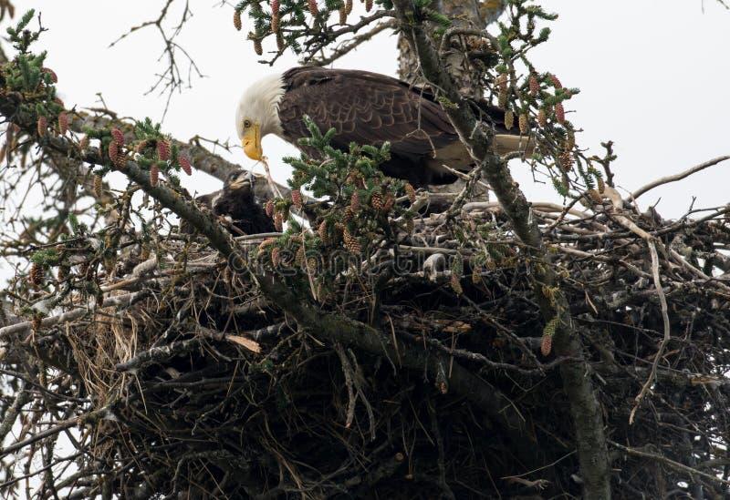 Kaal adelaarsnest in Alaska stock foto