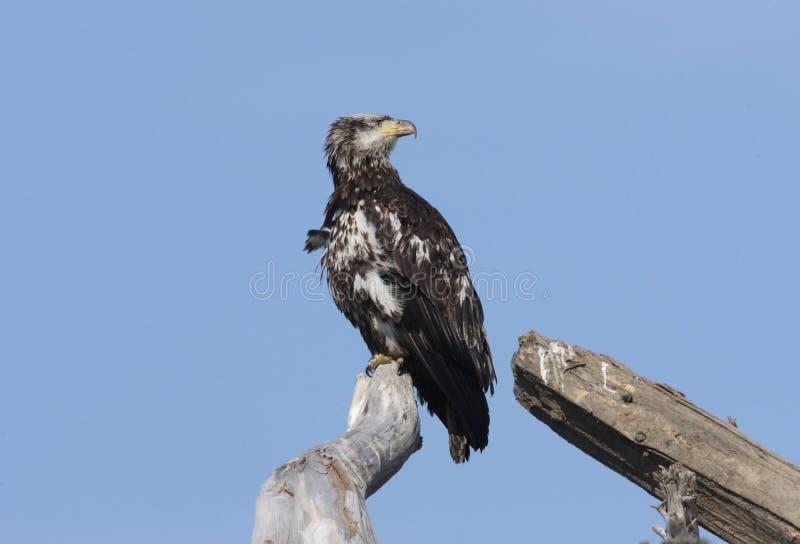 Download Kaal Eagle stock foto. Afbeelding bestaande uit roofzuchtig - 29501664