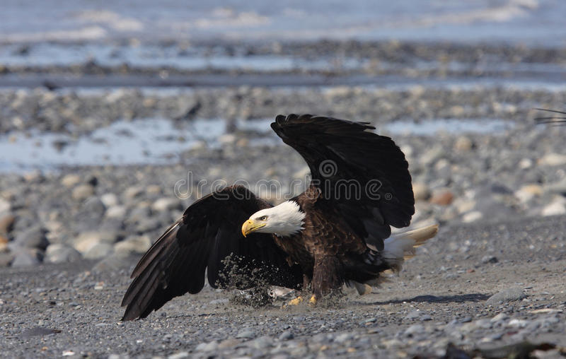 Download Kaal Eagle stock foto. Afbeelding bestaande uit kaal - 29501700