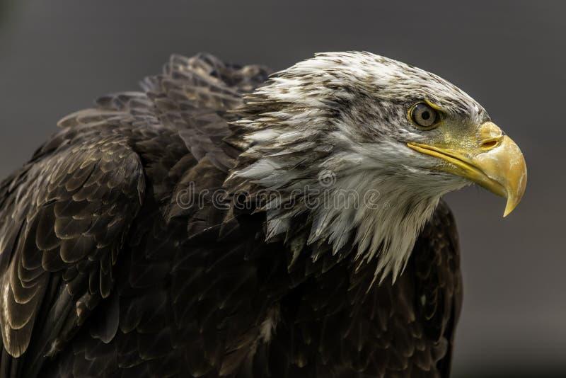 Kaal Eagle royalty-vrije stock afbeeldingen
