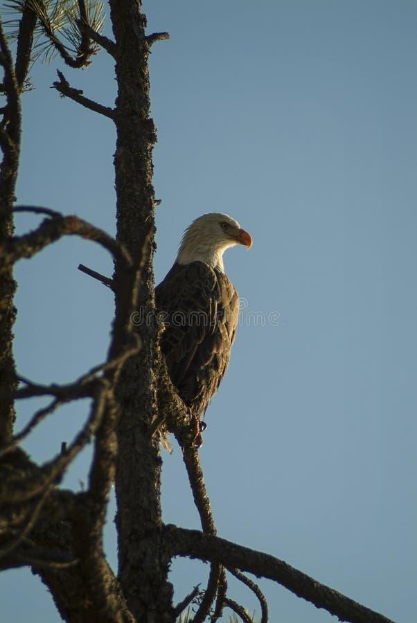 Kaal Eagle bij Meer Coeur D ` Alene, Idaho stock foto