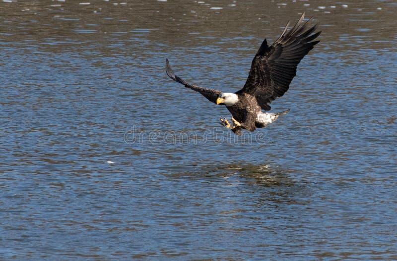 Kaal Eagle Catching een Vis royalty-vrije stock afbeeldingen