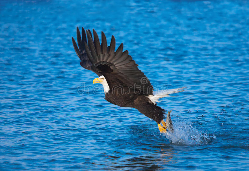 Kaal Eagle Catching Fish, Alaska stock fotografie