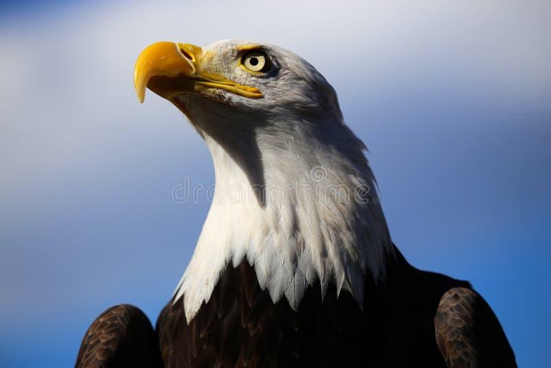 Kaal Eagle in Colorado met Blauwe Hemel stock foto's