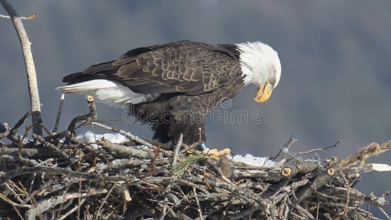 Kaal Eagle Contemplating Spring Snow royalty-vrije stock fotografie