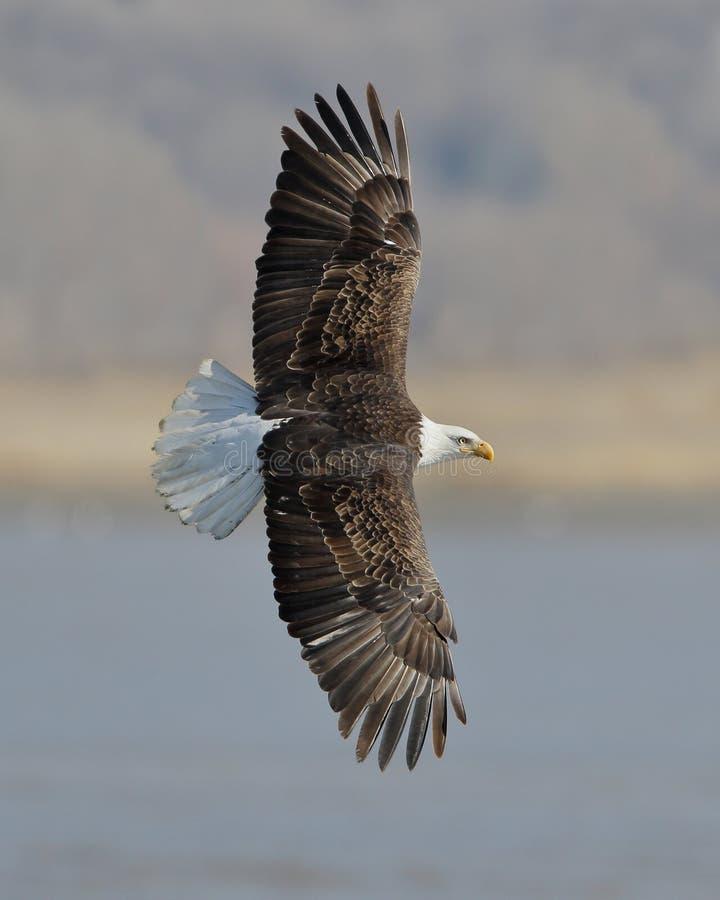 Kaal Eagle die tijdens de vlucht beleggen stock foto's