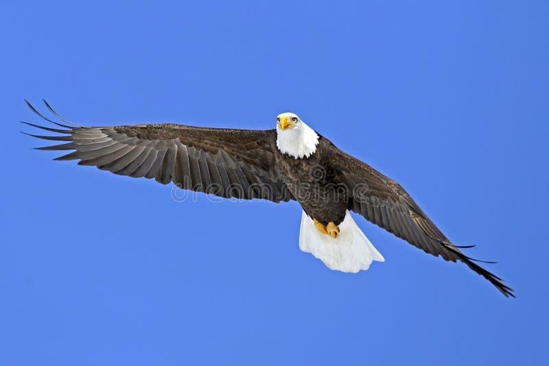 Kaal Eagle die tijdens de vlucht, in blauwe hemel stijgen stock foto's