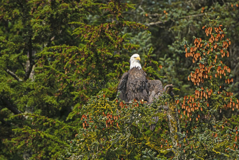 Kaal Eagle Drying His Wings van de Ochtendmist royalty-vrije stock afbeelding