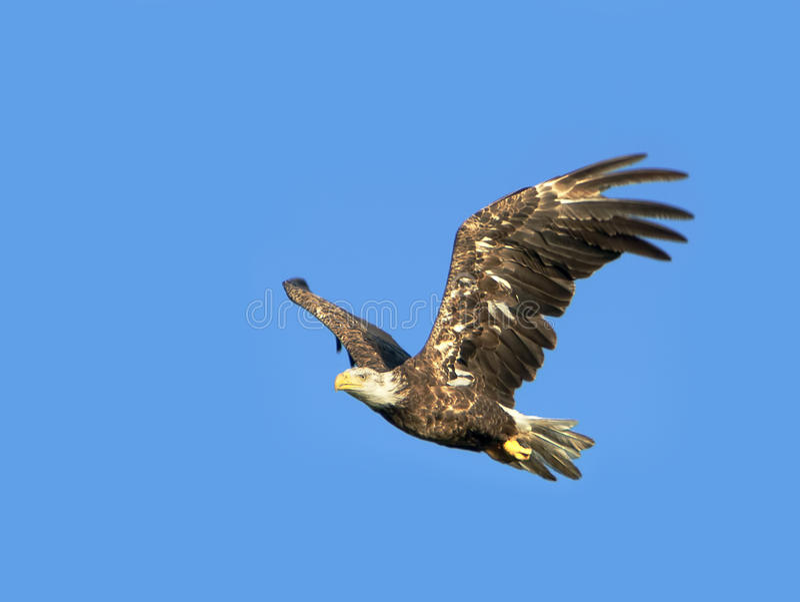 Kaal Eagle In Flight stock afbeelding