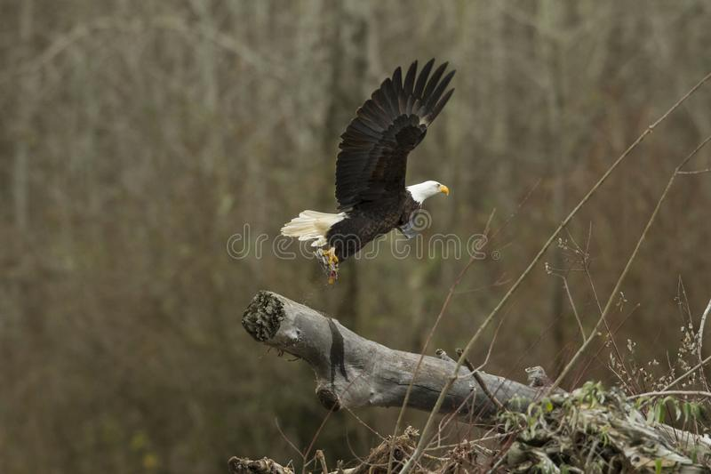 Kaal Eagle In Flight in medio lucht stock afbeelding