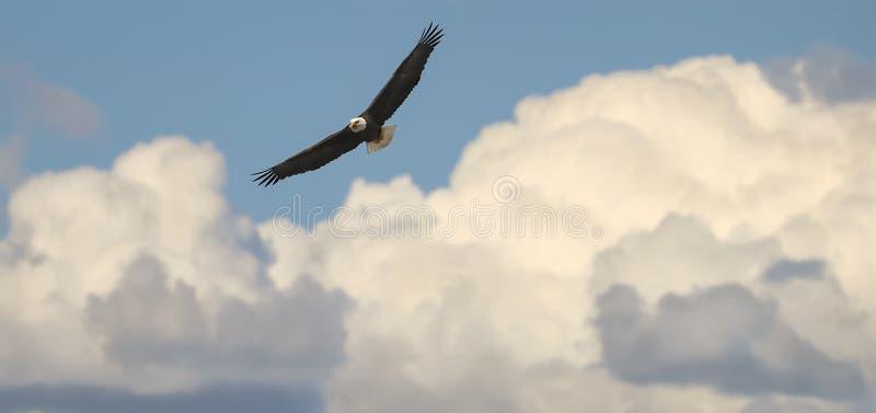 Kaal Eagle Flying in Wolken stock afbeeldingen