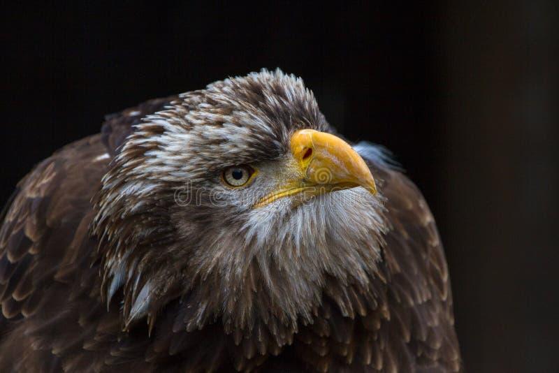 Kaal Eagle Haliaeetus-leucocephalusportret dat ook als Amerikaans Eagle wordt bekend stock fotografie