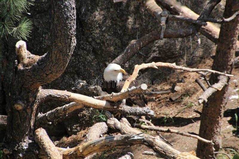 Kaal Eagle headshot in bomen 1 royalty-vrije stock afbeelding