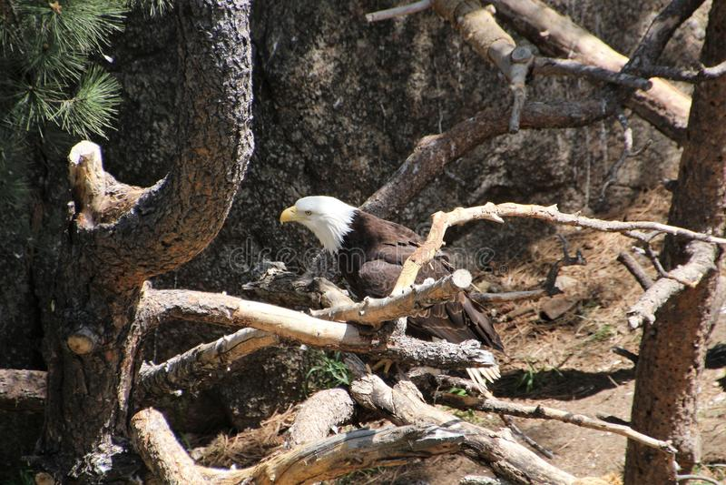 Kaal Eagle headshot in bomen 2 stock afbeeldingen