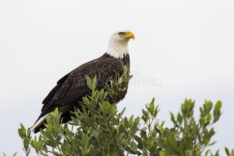 Kaal Eagle - Merritt Island Wildlife Refuge, Florida stock fotografie