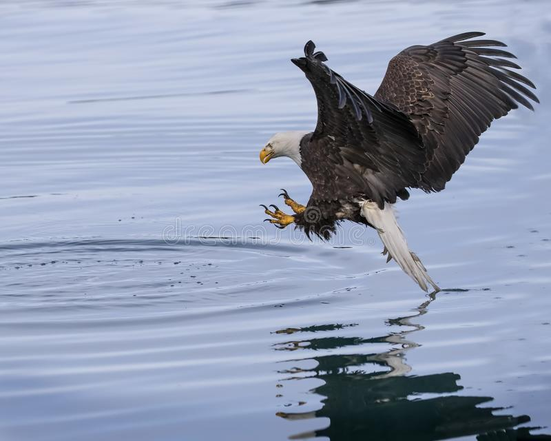 Kaal Eagle met uitgestrekte klauwen stock fotografie