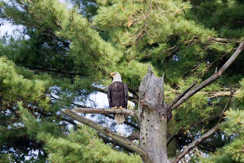 Kaal Eagle Ohio stock afbeeldingen