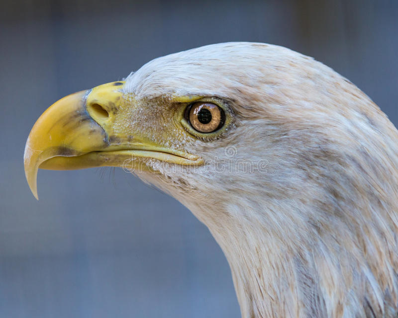 Kaal Eagle Tight Profile royalty-vrije stock foto