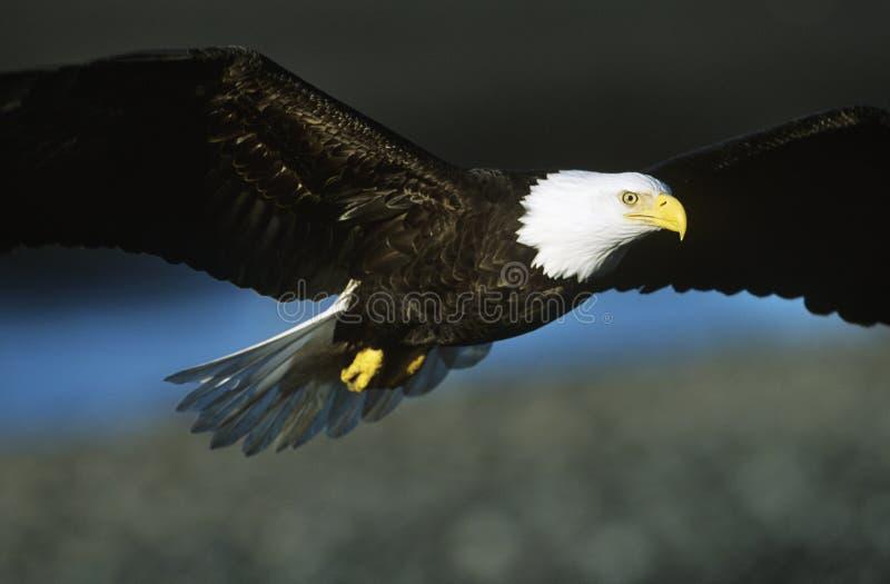 Kaal Eagle tijdens de vlucht stock foto