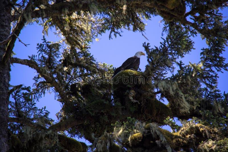 Kaal Eagle zit hoog in een boom royalty-vrije stock afbeelding