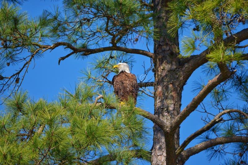 Kaal Eagle in zonnige dag met blauwe hemel stock afbeeldingen