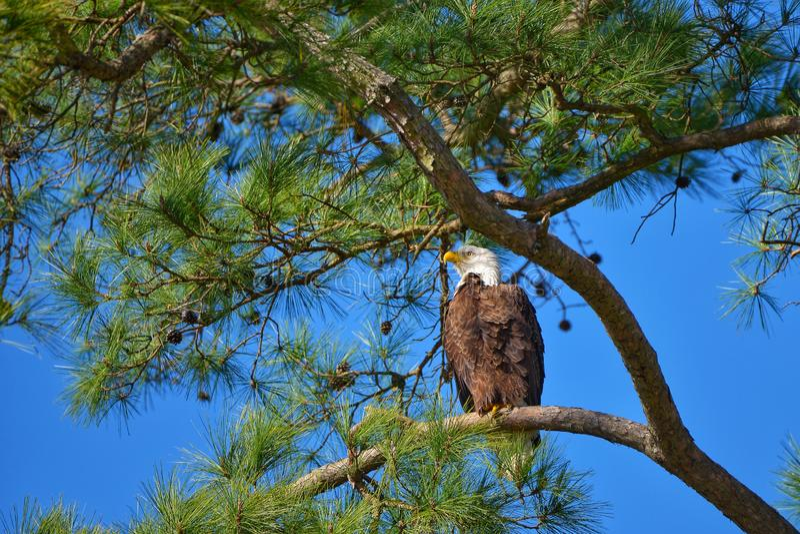 Kaal Eagle in zonnige dag met blauwe hemel royalty-vrije stock fotografie
