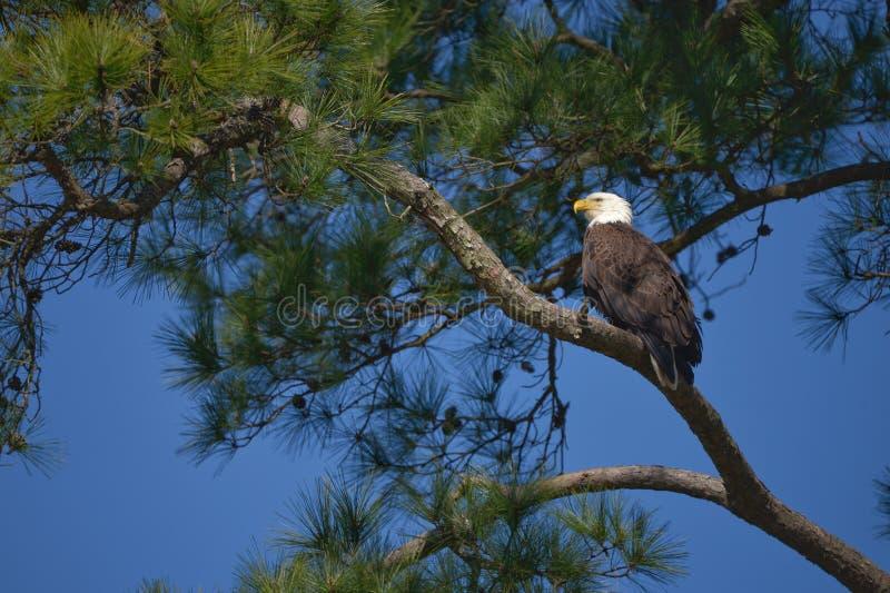 Kaal Eagle in zonnige dag met blauwe hemel royalty-vrije stock foto's