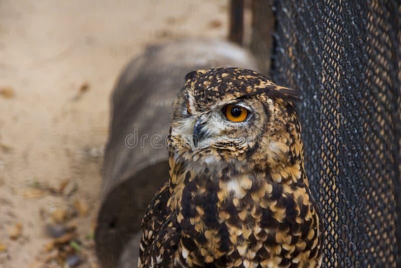 Kaap Eagle Owl in Gevangenschap stock afbeeldingen