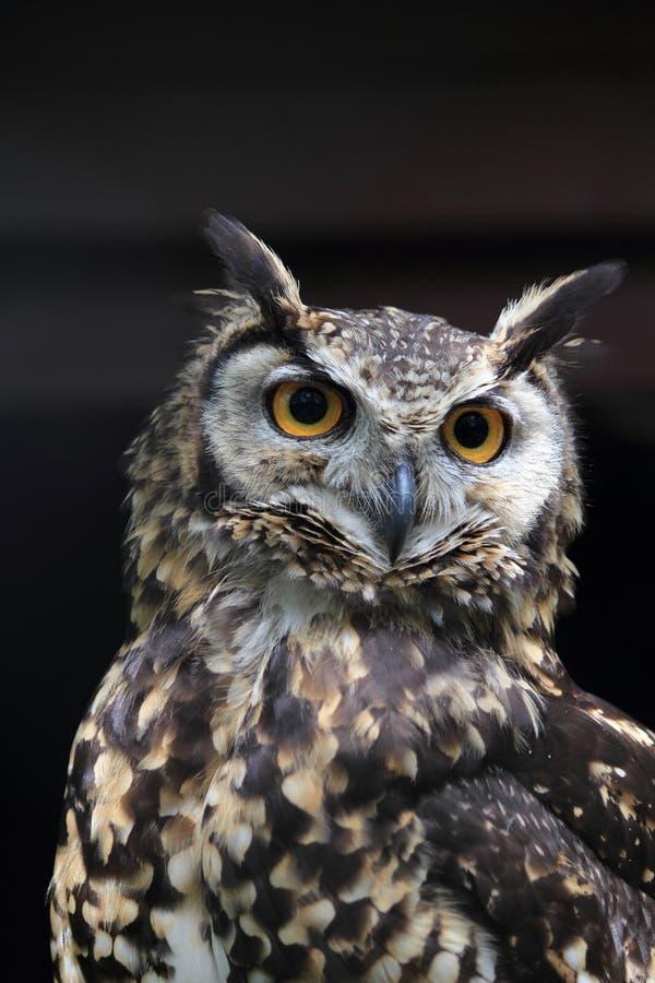 Kaap Eagle-Uil royalty-vrije stock fotografie