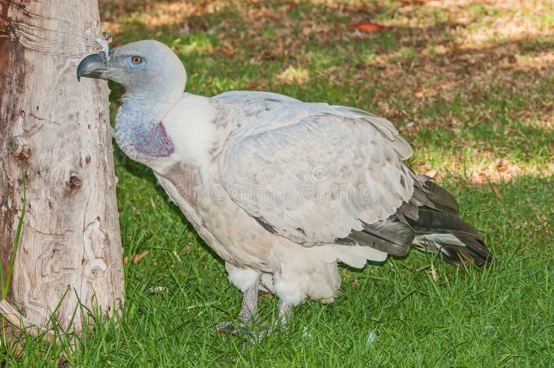 Kaap Griffon Vulture royalty-vrije stock afbeeldingen