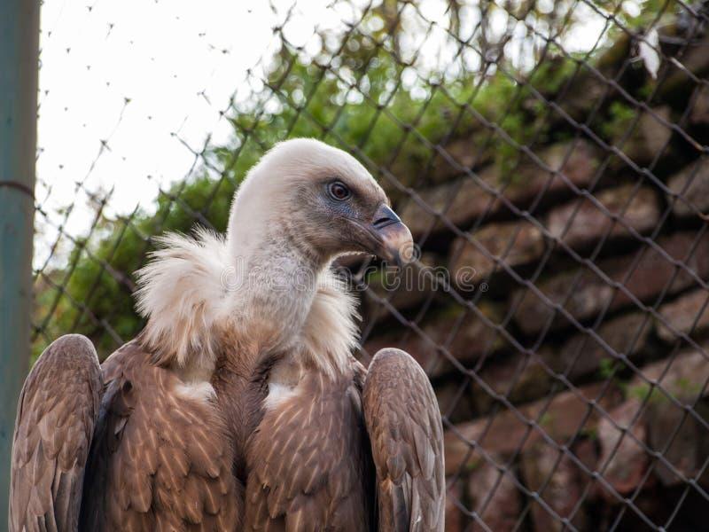 Kaap Griffon Vulture stock afbeelding