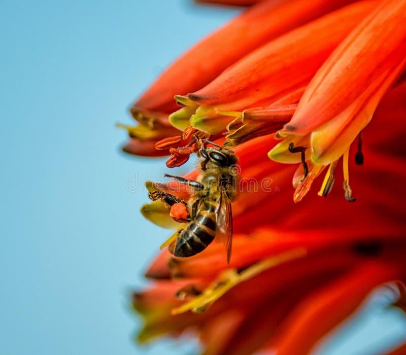 Kaap Honey Bee stock fotografie