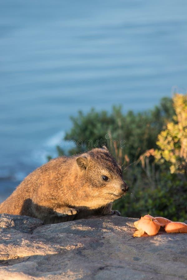 Kaap Hyrax stock afbeelding