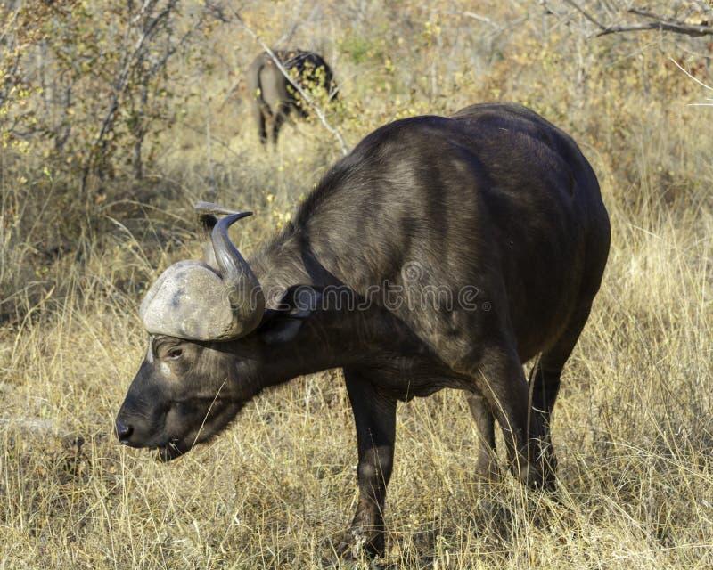 Kaapbuffels - het Wild van het Grote Grensoverschrijdende Park van Lumpopo royalty-vrije stock foto's