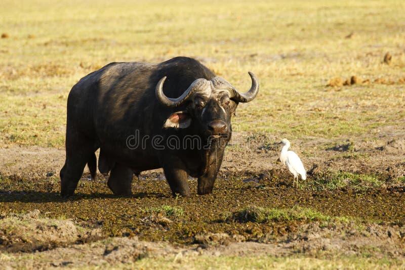 Kaapbuffels op de Afrikaanse Vlaktes met een weinig aigrette stock fotografie