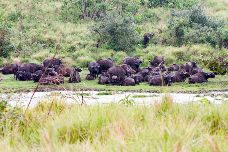 Kaapbuffels op Ngorongoro-Behoudsgebied NCA royalty-vrije stock foto's