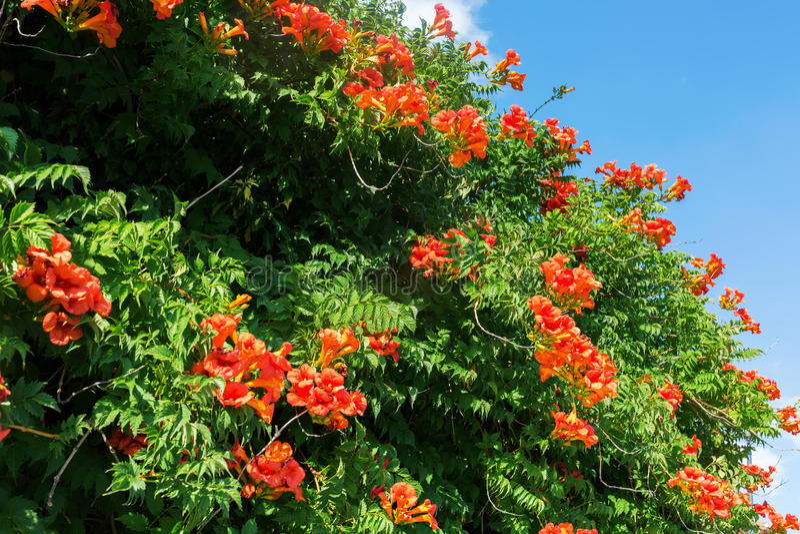 Kaapkamperfoelie met oranje bloesems royalty-vrije stock foto's