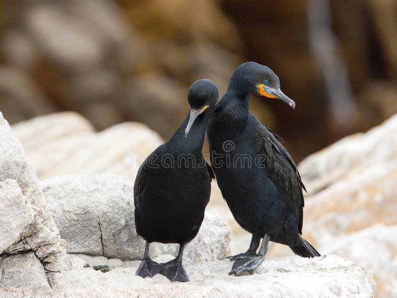Kaapse Aalscholver, Cape Cormorant, Phalacrocorax capensis stock image