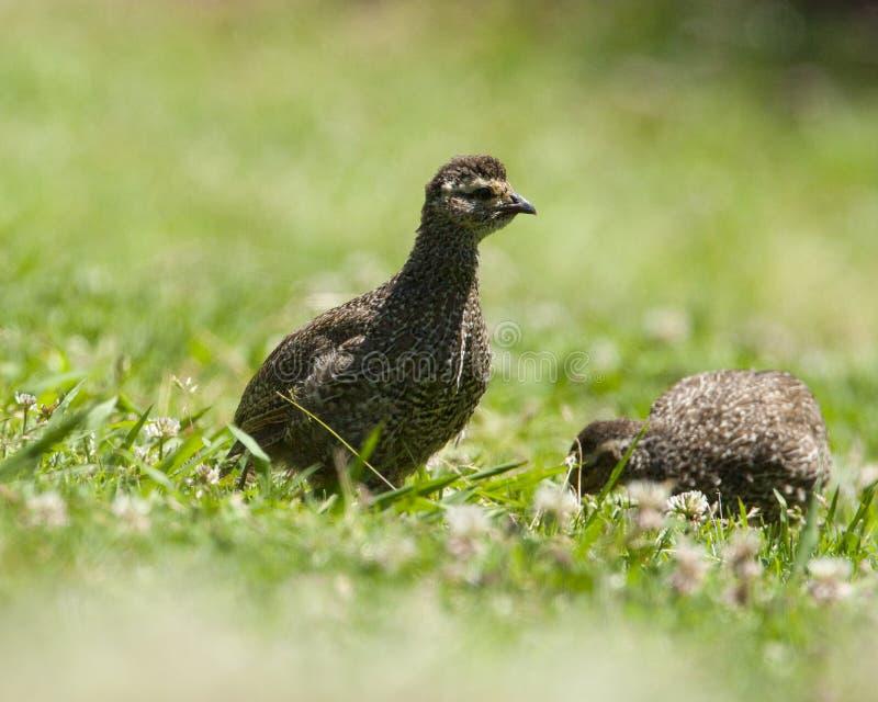 Kaapse Frankolijn, Cape Francolin, Pternistis capensis. Twee Kaapse Frankolijn kuikens, Twe Cape Francolin chicks royalty free stock photos