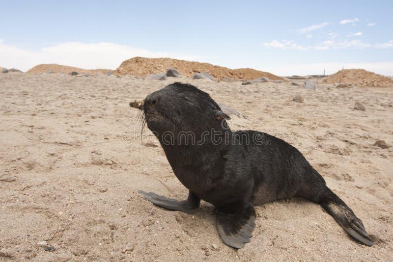 Kaapse pelsrob, przylądek Futerkowa foka, Arctocephalus pusillus zdjęcia stock
