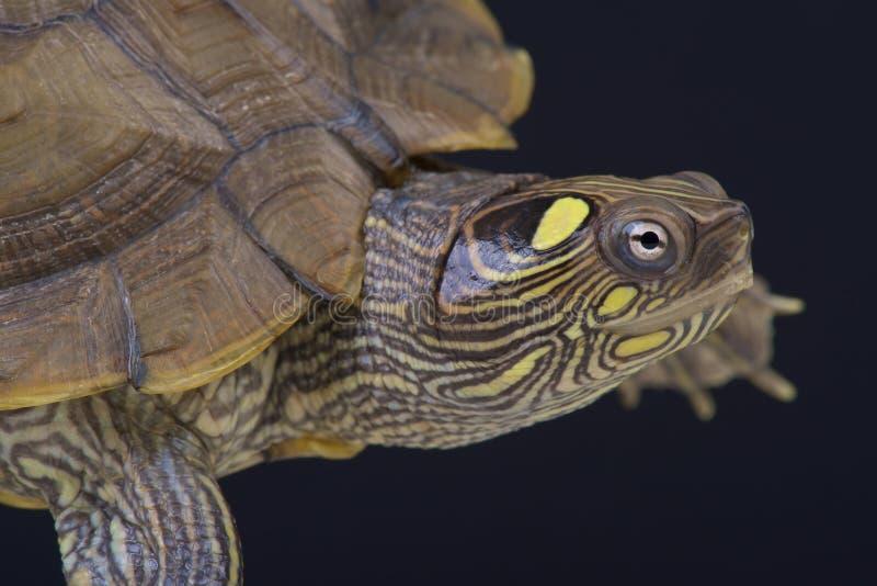 Kaartschildpad/Graptemys-ouachitensis stock afbeeldingen